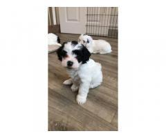 Bellissimi cuccioli di Cockapoo F2 da adottare