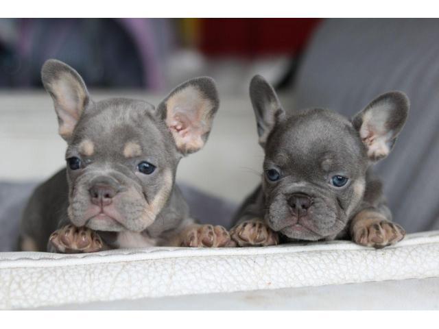 Bellissimi cuccioli di bulldog francese in vendita.
