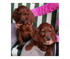 Cuccioli di Setter Irlandese color mogano lucido