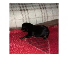 Cucciola pinscher toy