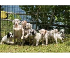 Cuccioli di setter inglese con pedigree